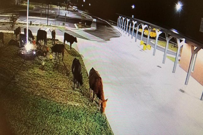 A herd of hungry cows made a late-night visit to Edneyville Elementary School in North Carolina and trashed the school's fall harvest display in an apparent search for snacks. Photo courtesy of Edneyville Elementary School