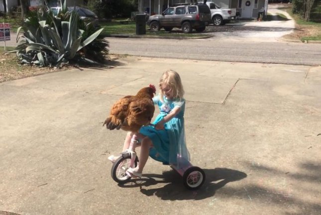 A chicken rides on a 3-year-old's tricycle. Screenshot: Storyful