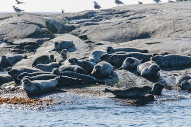 Seals in the Baltic aren't a significant threat to important open water fish stocks. Photo by Jan Kansanen/Stockholm University