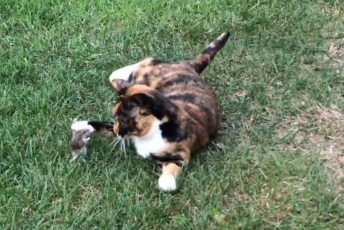 Barn cat Gypsy plays with her pet mouse. JukinMedia video screenshot