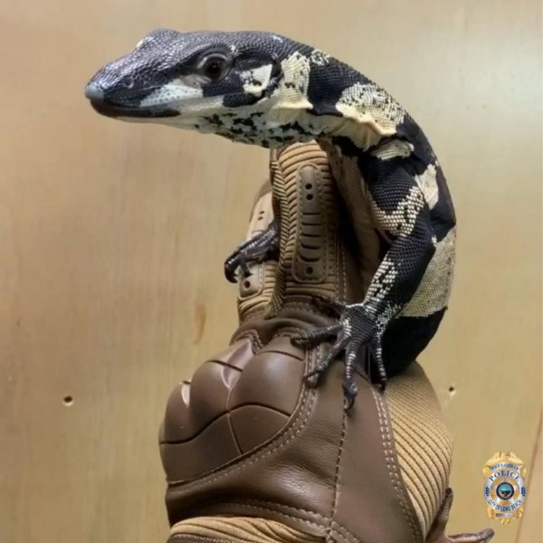 Two Australian lace monitor lizards stolen from JTK Reptiles in Long Beach, Calif., were recovered by police nearly a year later. Photo courtesy of the Long Beach Police Department
