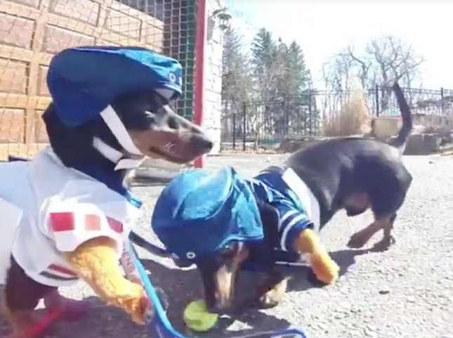 Two Dachshunds in Canada donned custom hockey outfits to participate in a driveway hockey game. The pair wore modified teddy bear outfits and used tiny hockey sticks to bat a tennis ball around into a miniature hockey goal. Screen capture/Crusoe the Celebrity Dachshund/Facebook