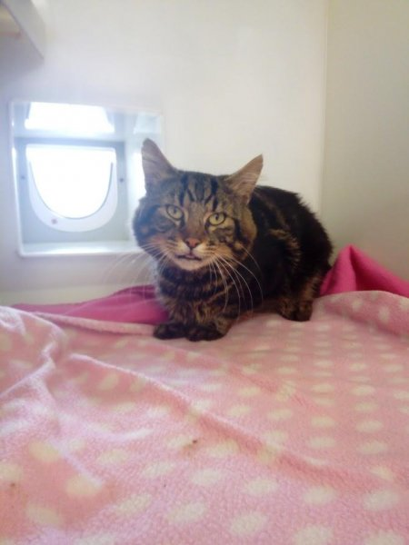 A tabby cat, pictured here, was rescued from the air vent of a vehicle that had been driven around 80 miles. Photo courtesy of the Royal Society for the Prevention of Cruelty to Animals.
