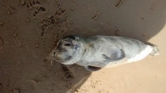 A stranded seal pup rescued from a beach in Wales was named after Theon from Game of Thrones while being cared for at a wildlife center for muscular injuries. 