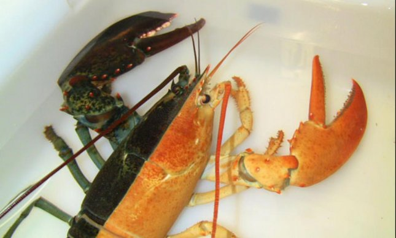 Pinchy, a split lobster. (New England Aquarium)
