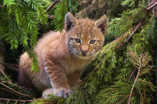 A Eurasian lynx. Photo by Bernard Landgraf/CC