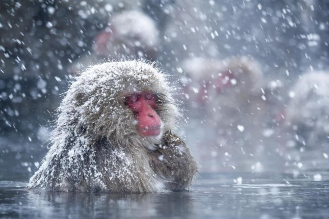 Monkeys in hot water show less stress, study finds