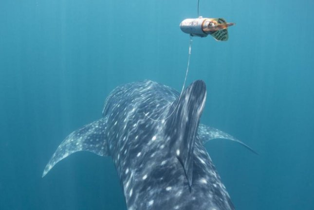 The lightweight tracking devices floated above the whale sharks, attached by thin tether. Photo by Gonzalo Araujo