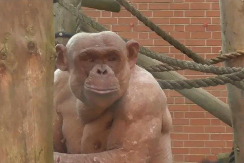 Oglejte si šimpanze brez las, ki se borijo v Twycross Zoo - Upicom-4786