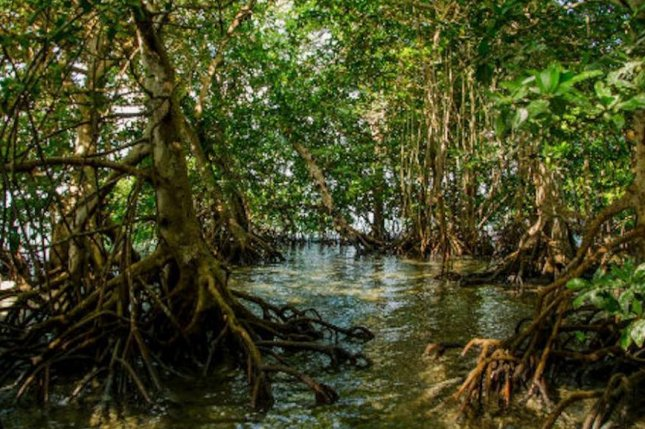 Florida's coastal mangrove forests cover 700 square miles. Photo courtesy of U.S. Fish and Wildlife Service