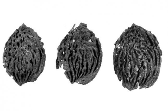 These fossilized peach pits are 2.5 million years old. Photo by Penn State/Scientific Reports
