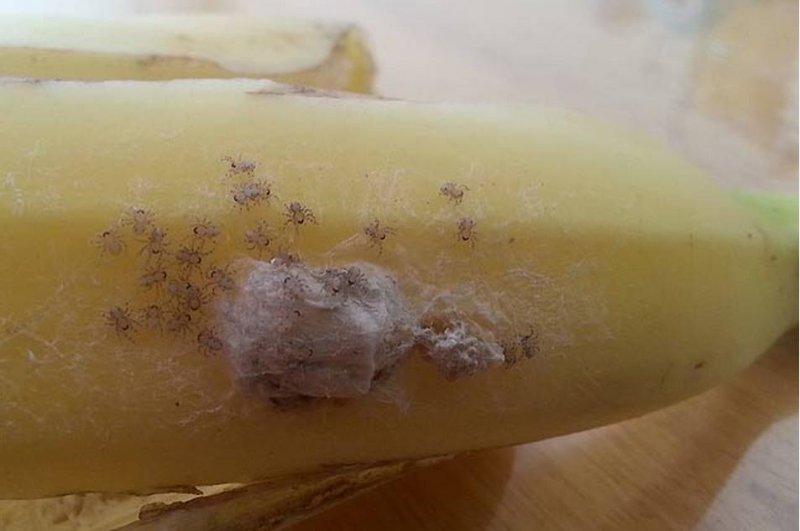 Brazilian Wandering spiderlings on a banana. (Consi Taylor/Facebook)
