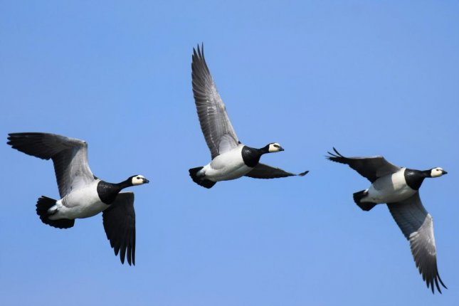 Barnacle geese have altered their migration pattern in response to climate change. Photo by Pixabay/CC