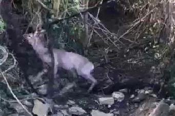 Animal rescuers were called to a garden in Britain when a deer ended up with its antlers entangled in netting. Photo courtesy of the RSPCA