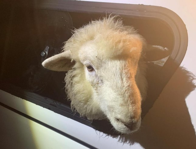 A ram captured after running loose in New Plymouth, New Zealand, is back on the lam after escaping from the city's animal shelter, officials said. Photo by the New Plymouth District Council/Facebook