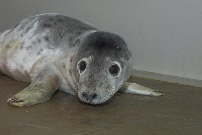 Animal rescuers were summoned to a home in Scotland where the resident reported a baby seal attempting to take shelter inside the house. Photo courtesy of the Scottish SPCA