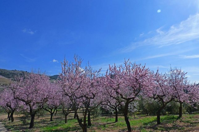 Growers in California have to rent millions of bee colonies to pollinate their almond trees. Photo by Pixabay/CC