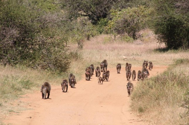 Baboons can live and travel in troop sizes of up to 150, with smaller baboons speeding up and bigger baboons slowing down to maintain social cohesion. Photo byCarter Loftus/Max Planck Institute of Animal Behavior