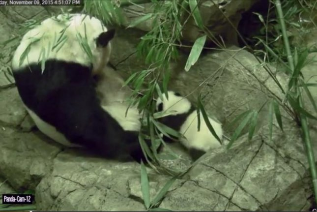 Bei Bei the giant panda takes his first wobbly steps while proud mother Mei Xiang watches. Screenshot: Source/Storyful