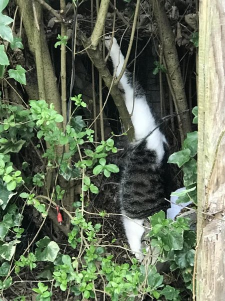 Animal rescuers were called to a garden where a pregnant cat was found dangling from a back leg after impaling her foot on a spike. Photo courtesy of the RSPCA