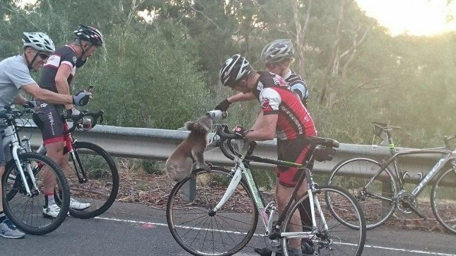 An Australian cyclist stopped to help out a thirsty koala while out for a ride on a local highway. Nick Lothian shared water from his bottle with the koala and waited with the animal until animal services arrived. Photo by Nick Lothian/Facebook