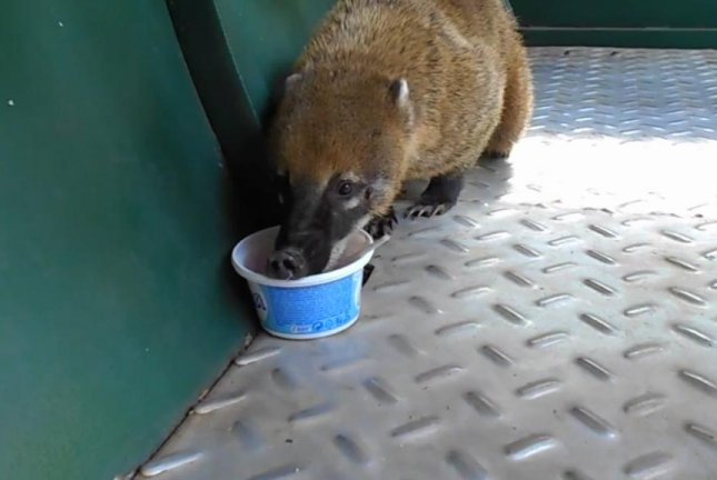 A coati sneaks onto a train in Argentina for a quick snack of ice cream. Screenshot: Newsflare