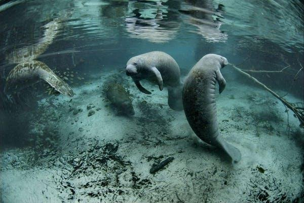 Red tide in recent years has killed large numbers of Florida's manatees, a threatened species. Photo by David Hinkel/U.S. Fish and Wildlife Service