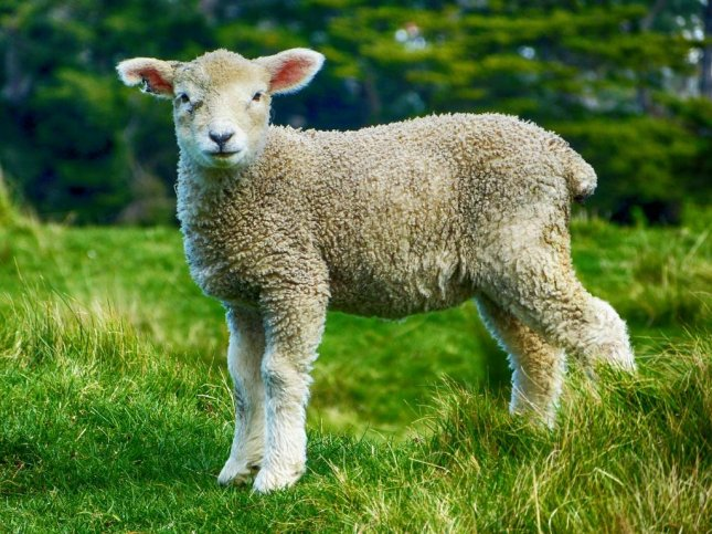 Lamb on the loose at the University of Utah