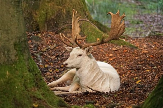 A white fallow deer, similar to the one pictured here, has been spotted running loose in Longview, Texas. Photo by Barni1/Pixabay.com