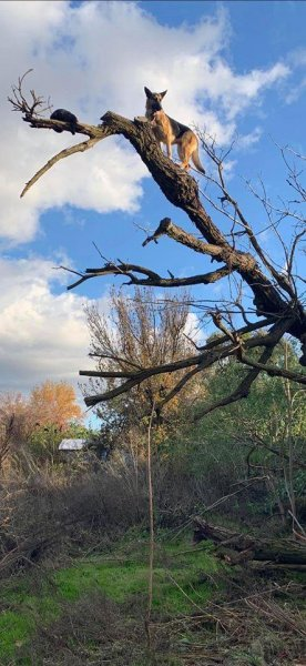 Firefighters in California came to the rescue of a dog that became stranded in a tree while chasing a cat. Photo courtesy of the Lathrop Manteca Fire District