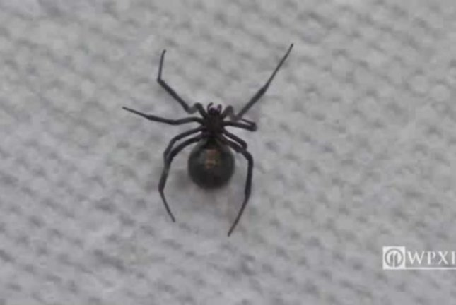 A Morrisville, Pa., couple discovered a black widow spider in the grapes they bought from BJ's Wholesale Club. WPXI-TV video screenshot