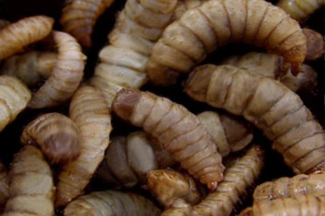 Black soldier fly larvae raised on restaurant waste are freeze-dried and sold as pet food by a California company. Photo by Dennis Kress/Wikimedia Commons
