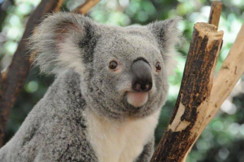 Koala Klamydia