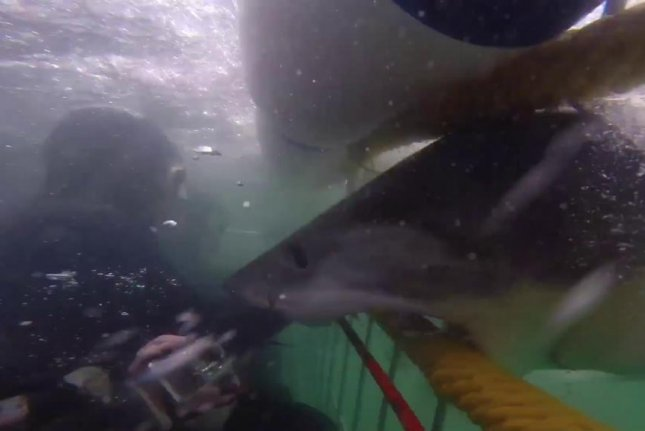 Great white rams shark cage head-on in diver's video