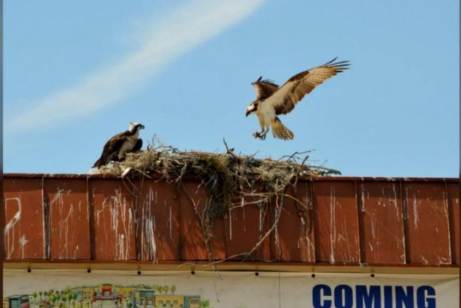 An osprey nest is preventing the demolition of a sign outside of a defunct Florida mall. Screenshot: Florida Today