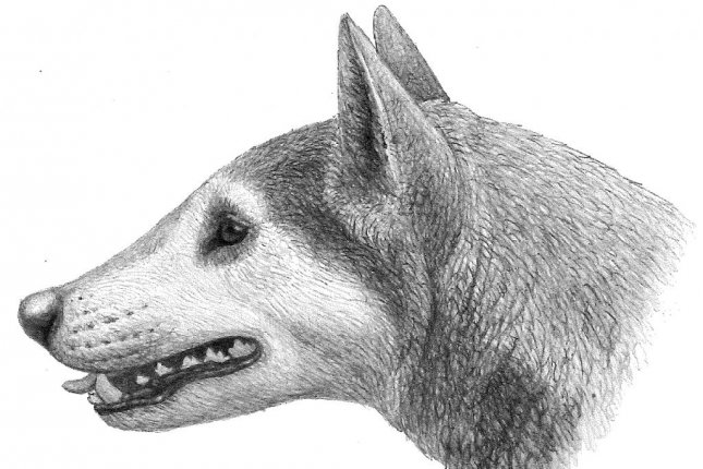 A rendering imagines the appearance of a member of the extinct canid genus Cynarctus. Photo by Mauricio Antón/Dogs, Their Fossil Relatives and Evolutionary History