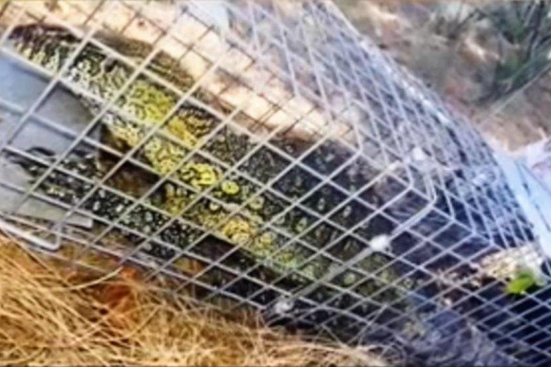 A massive non-native Nile lizard was captured in Cape Coral, Fla. Screenshot: WNYT-TV