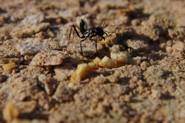 Desert ants can recall traps or obstacles and adjust their routes accordingly. Photo by Cornelia Buehlman/CNRS