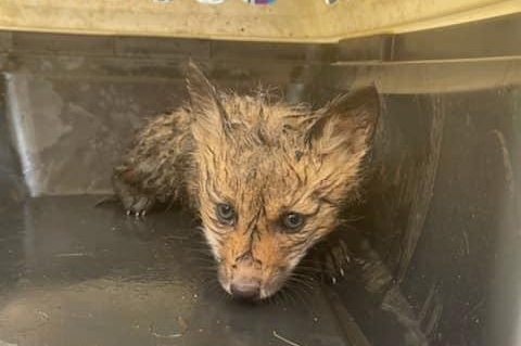 Two baby foxes, initially thought to be coyote pups, were rescued from a storm drain in Foxborough, Mass. Photo courtesy of the Foxborough Police Department