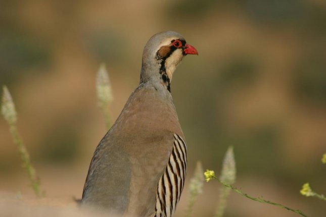 A chukar, a game bird native to the Middle East, was spotted wandering loose at an Alberta strip mall. Photo by MyCoolPhotos/Pixabay.com