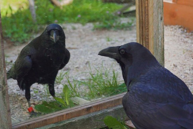 Ravens can experience negative emotional contagion, researchers say. Photo by University of Vienna