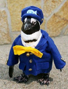 Haruka, an African penguin who will serve as a ''conductor'' for Ichibata Electric Railway Co. in Shimane Prefecture on Oct. 9, 2010. (Photo provided by Matsue Vogel Park) Kyodo News