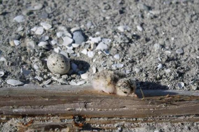 A least tern inches away from an unhatched egg. Photo by Angela H. Lindell/SREL
