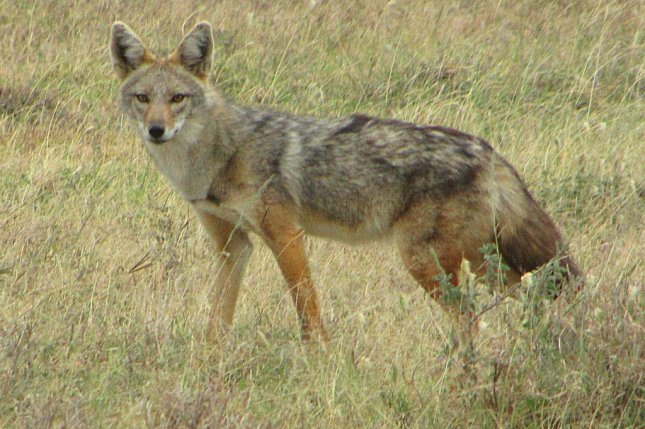 The newly named African golden wolf, seen in Serengeti National Park, Tanzania. Photo by D. Gordon/E. Robertson/UCLA