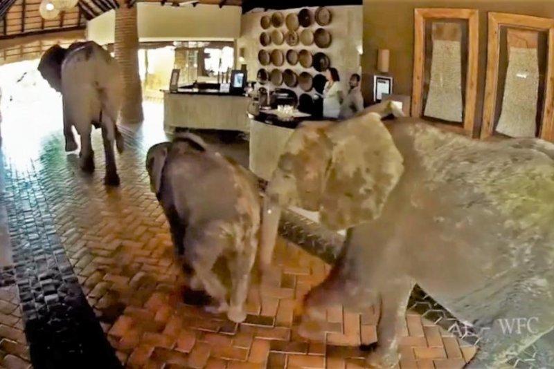 Elephants pass through the Mfuwe Lodge in Zambia to reach a mango tree. Storyful video screenshot