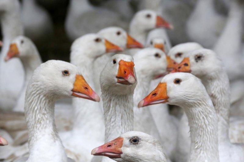 Bird flu outbreak hits French foie gras industry
