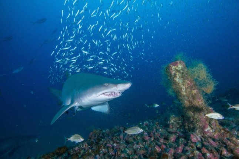 Female sand tiger sharks regularly return to the same shipwrecks off the N.C. coast. Photo by John McCord/Coastal Studies Institute
