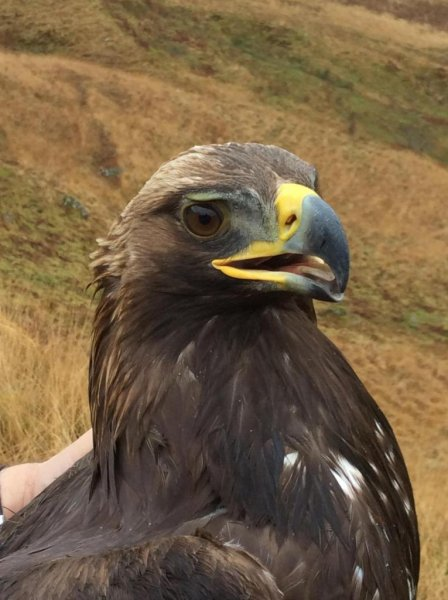 How close golden eagles fly to wind turbines depends on habitat availability inside and outside of wind farms, according to new research. Photo by Philip Whitfield/Natural Research Ltd.