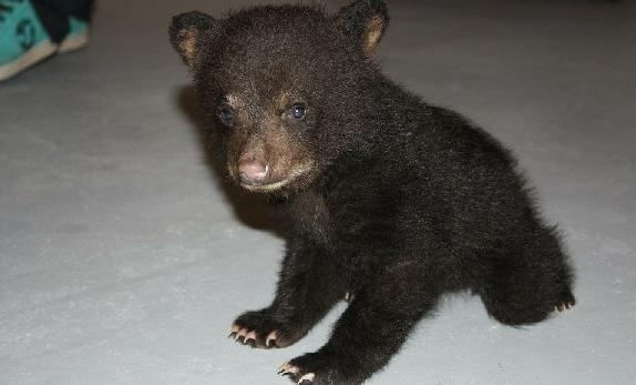 Makoon the bear cub. (Image via Save Bear Cub Makoon/Facebook)
