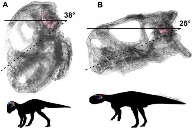 Scientists use 3D models of dinosaur skulls to better understand the relationship between braincase development and posture change. Photo by Claire Bullar/University of Bristol